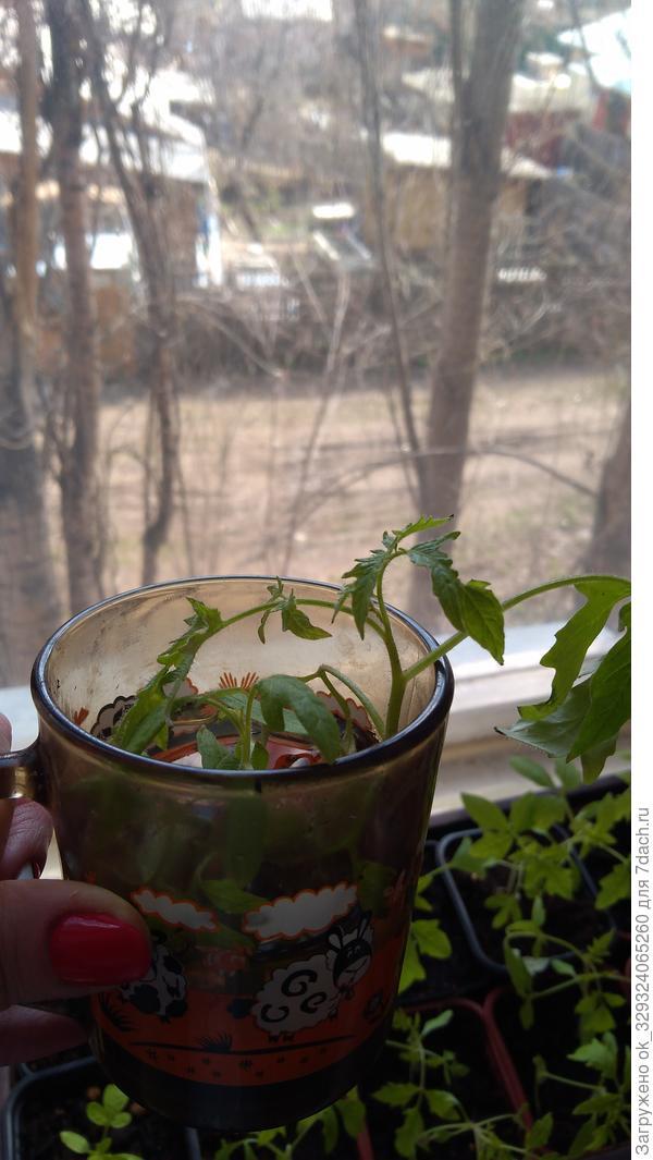 Это в растворе малышка стоят томаты наращивают корешки