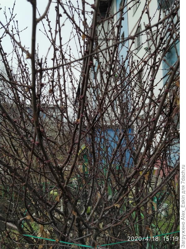 Как называется этот кустарник? И можно ли его размножить черенкованием?