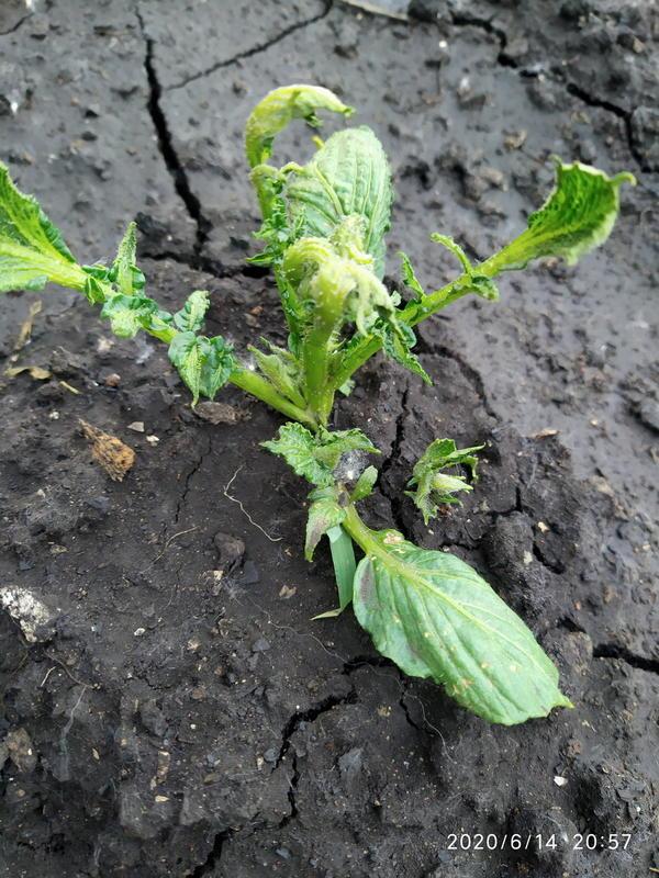 Почему у всходов картофеля скручены листья?