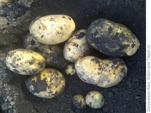 """Итоги выращивания картофеля из мини-клубней от """"Садов России"""""""