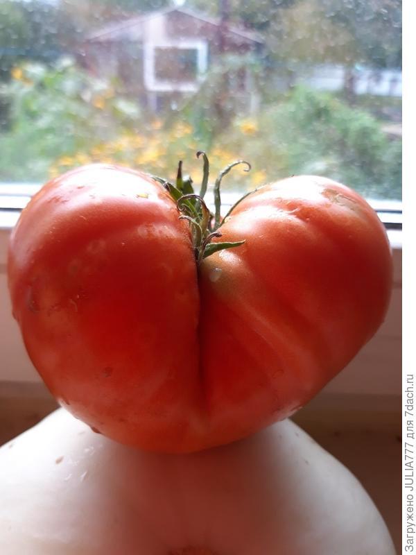 Сердечный помидор.