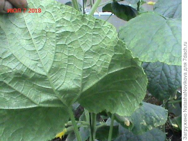 листья огурцов в поликарбонатной теплице