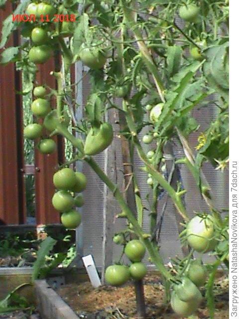 недоросшие и недоспелые томаты ну не срезать же их