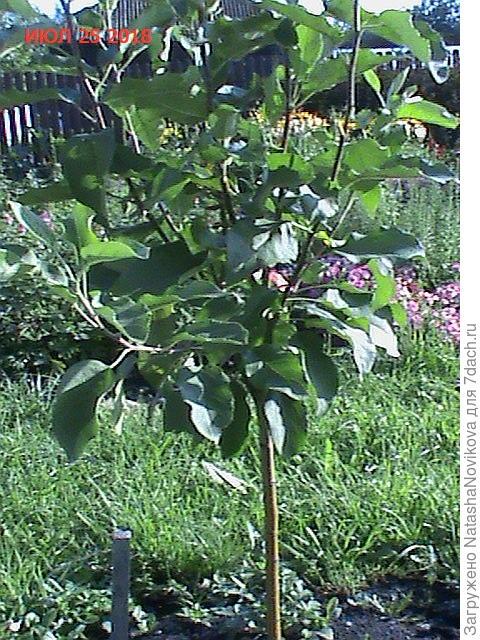 молодая яблонька