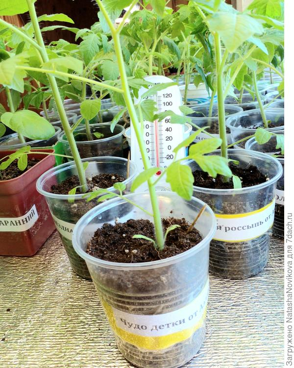 Пересадка тестируемых томатов от Аэлиты в теплицу