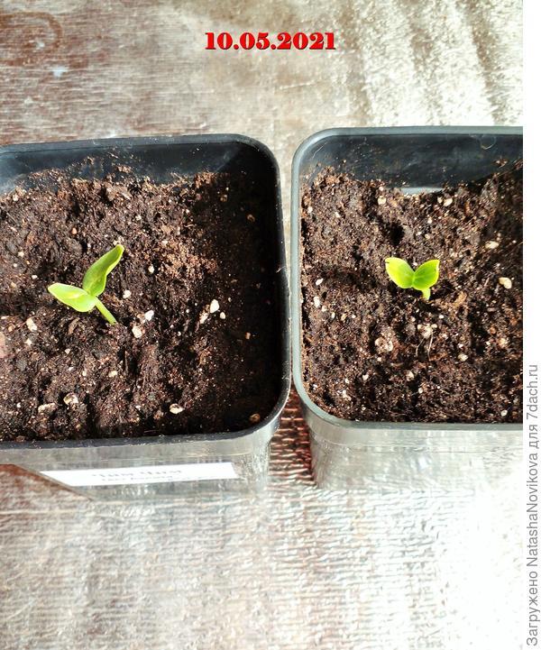 Огурчики от агрофирмы Аэлита: начало тестирования. Тест на всхожесть