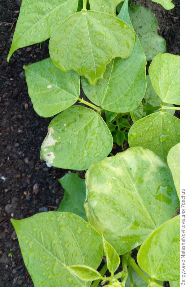Почему появились светлые пятна на листьях спаржевой фасоли?
