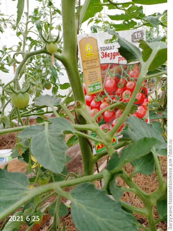 Форс-мажор произошел с тестируемым томатом 'Звёздная россыпь' F1 от агрофирмы Аэлита