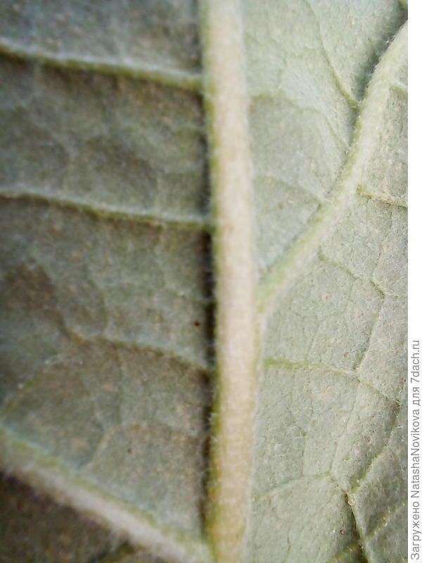 Обнаружила повреждения на листьях баклажана. Паутинный клещ вернулся?
