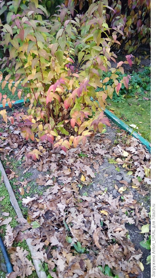 Укрывным не запаслись - спасают дубовые листья