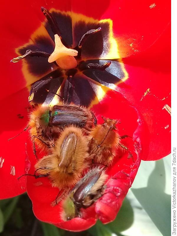 Что это за жуки, и как с ними бороться???