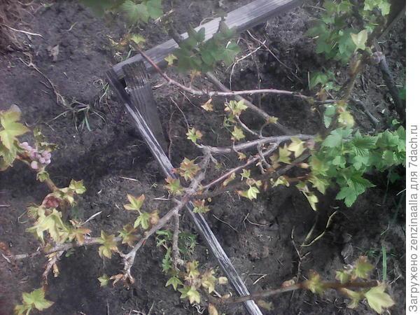 Это смородина с неравномерно развивающимися побегами и желтоватого красноватыми листьями