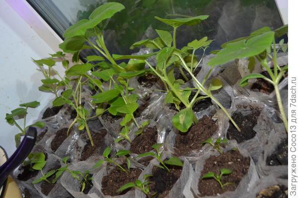 кабачки и тыквы