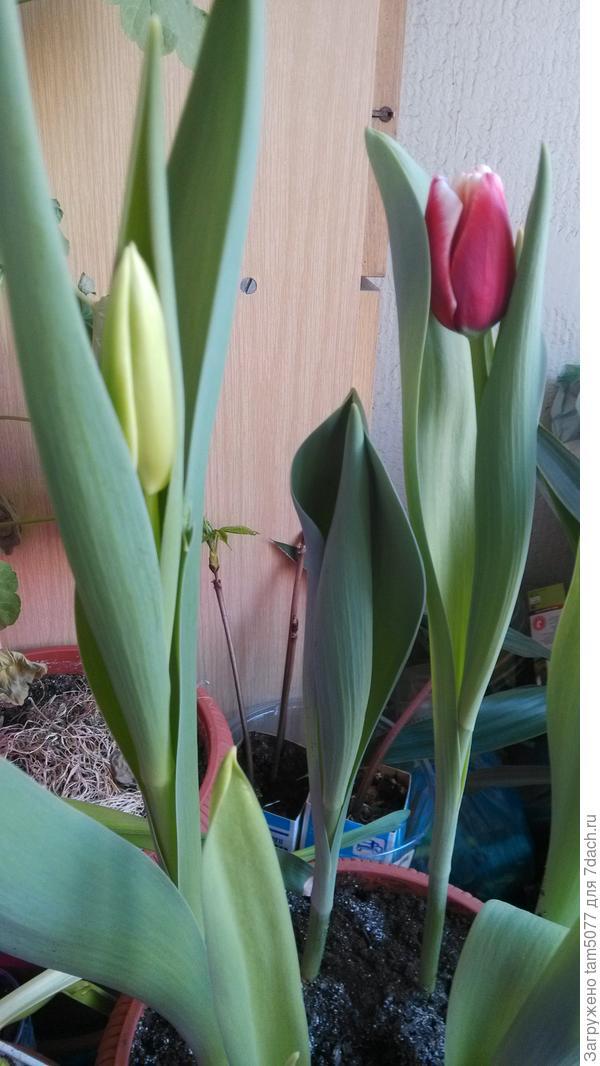 Начало цветения, уже видно цвет и форму