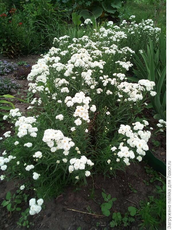 тысячелистник (высота примерно 30 см может чуть выше, цветет у нас в конце июля и до начала сентября)