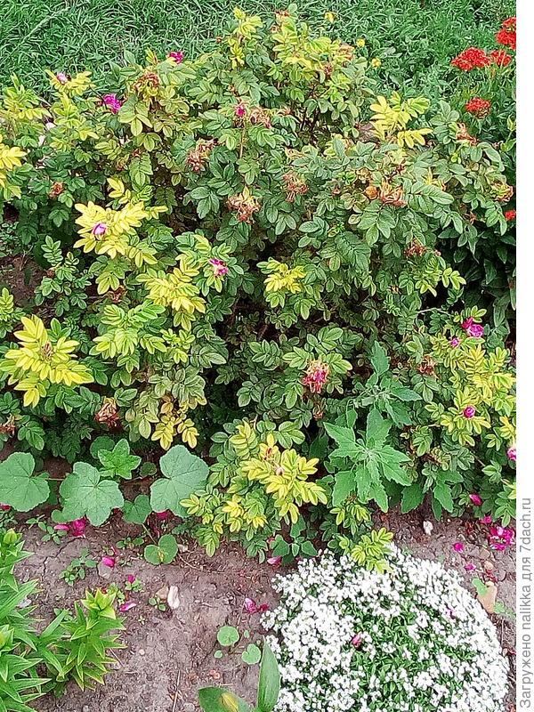 Роза дикая - этому кусту 3 года (высота 50 см, куст раскидистый, ползучий и колючий, цветет с конца июня до сентября почти)