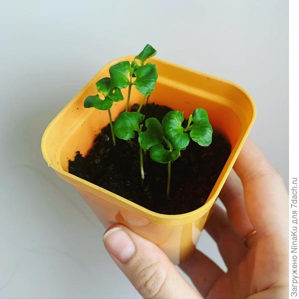 Вырастить из фруктовой косточки