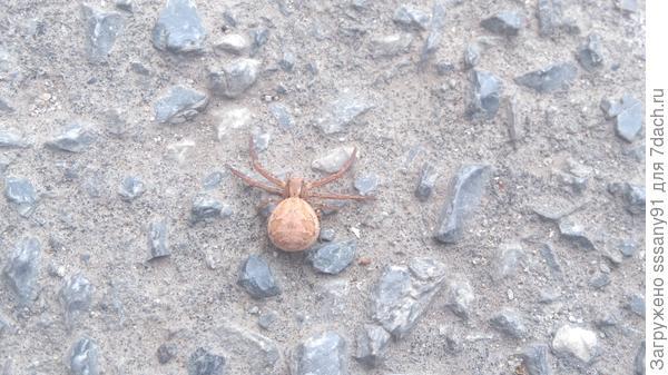 подскажите пожалуйста что за паук? и опасен или нет