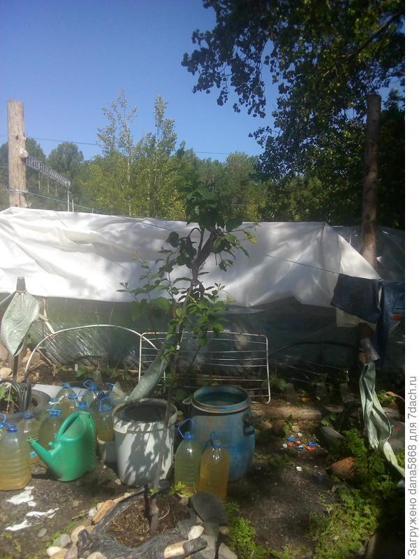 Это слива ренклод-зимовала рядом с яблоней штрифель которая признаков жизни не подает,хотя корни белые и новые наросли под укрывным грунтм