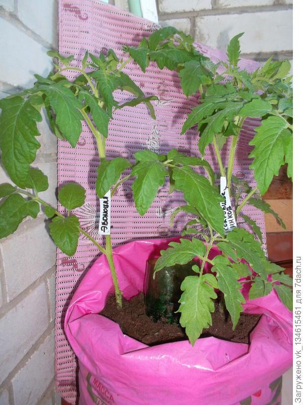 На 1 июня растения чувствуют себя не плохо - активно растут, появились бутоны