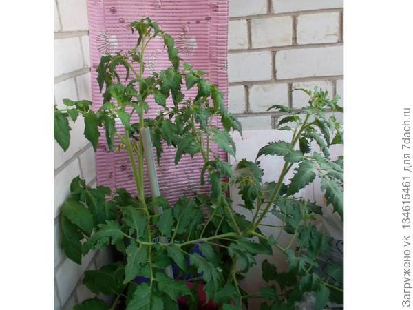 томаты растут как на дрожжах 16 июня