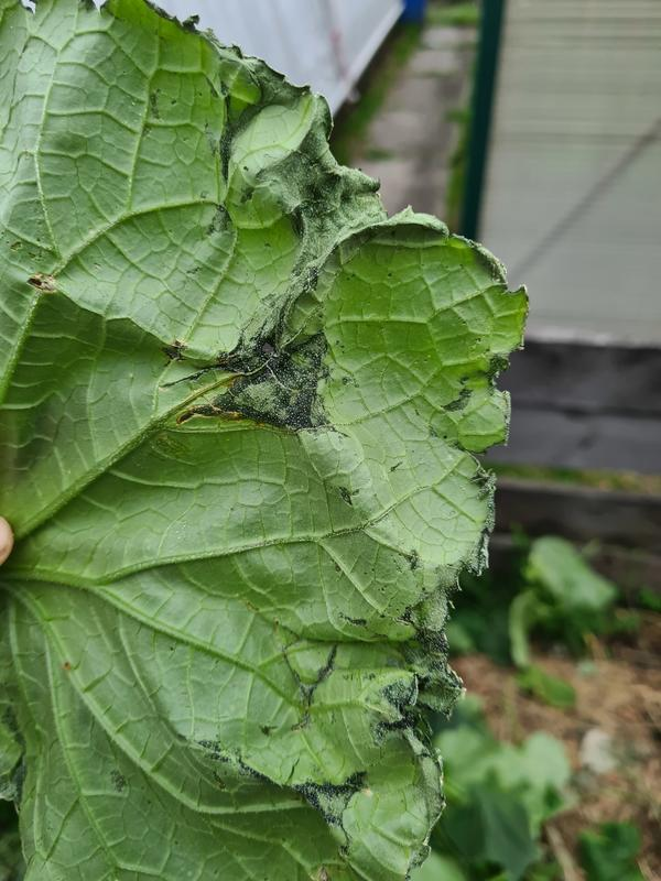 Что это такое на огуречных листьях? Паутинного клеща не нашла