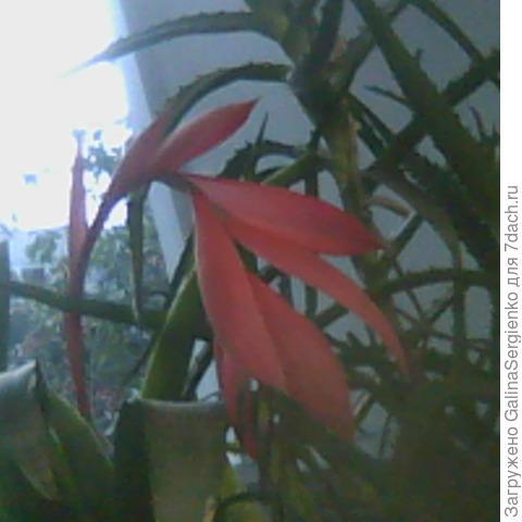 Как называется цветок, зацвёл на подоконнике
