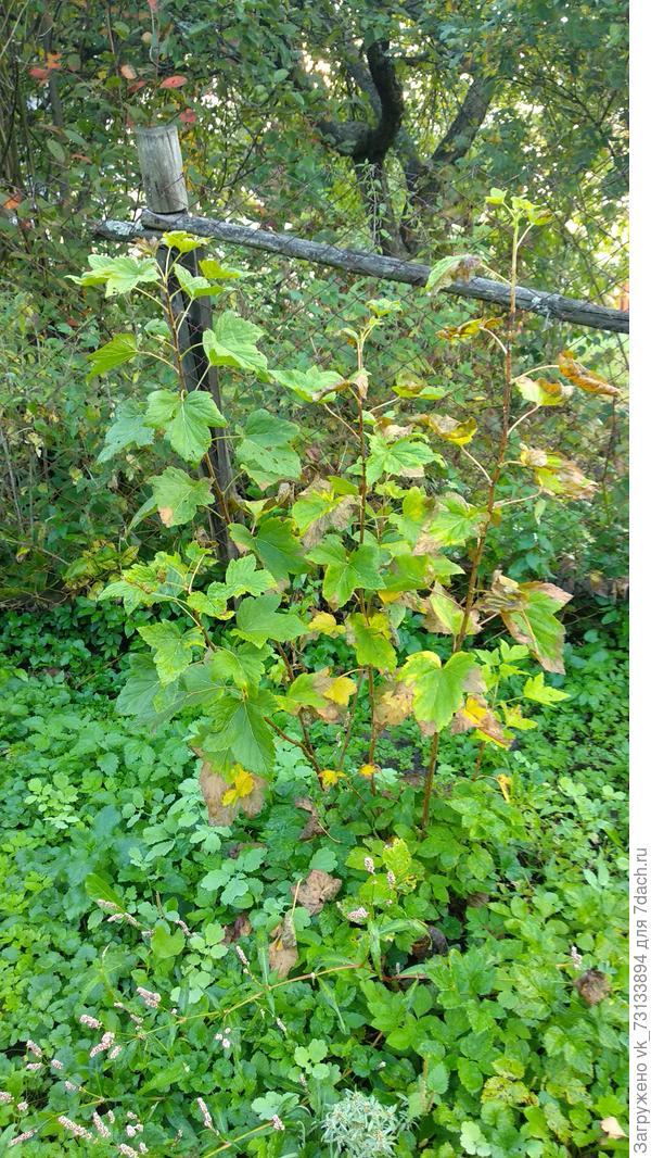 Куст с сохнущими листьями