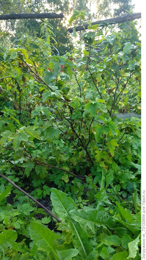 Куст с темными точками на листьях