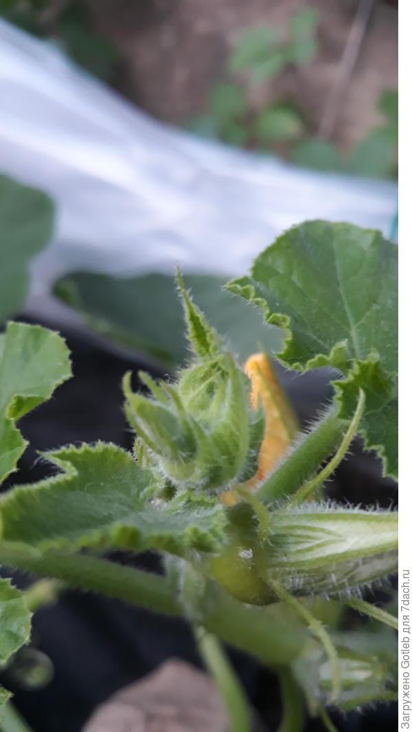 Снизу - самая большая из всех моих тыкв растёт, но чуть выше и левее можно разглядетт ещё плод.