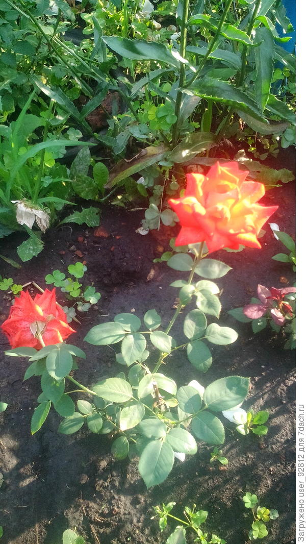 Как называется роза?