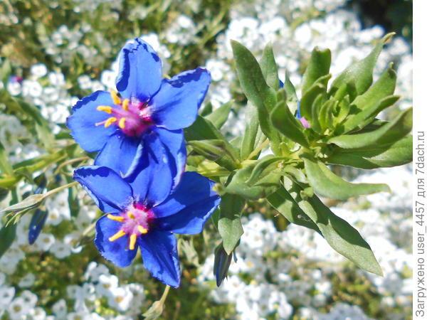 как называется растение с голубыми цветами?