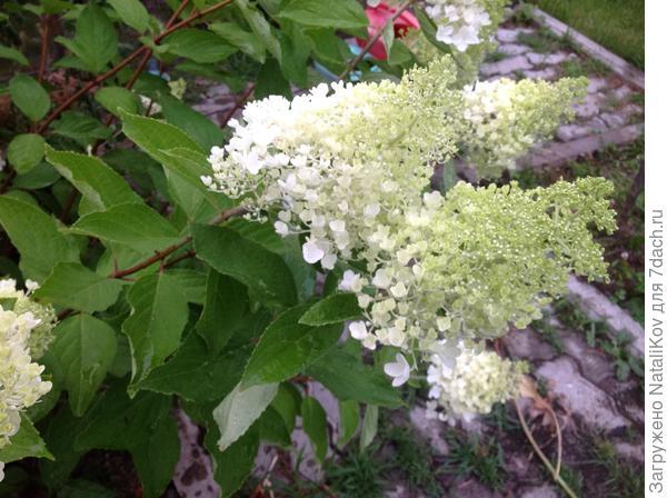 N 4 соцветия (уже почти лежат)