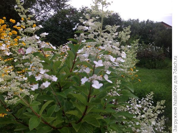 N 3 Соцветия (начало цветения)