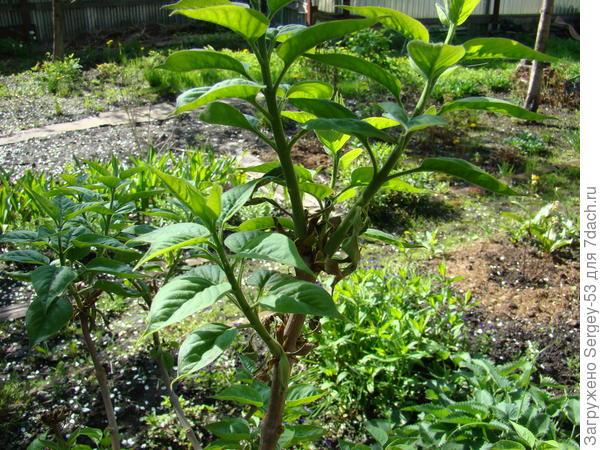 Почему сохнут листья на сортовой сирени. Как помочь растению?