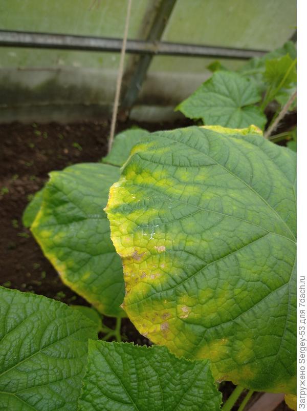 У огурцов одни листья по краям начали желтеть и подсыхать, на других появилась непонятная сетка. Это болезнь или нехватка микроэлементов?