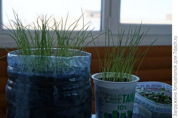 Растут луки. Слева Эксибишн, справа - порей Веста.