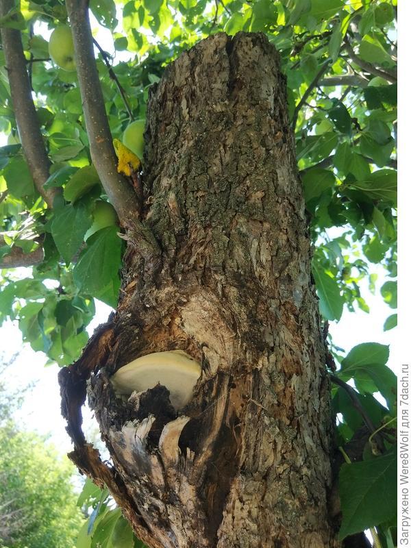Гриб растёт в дупле второго спиленного ствола, на котором есть молодые ветки