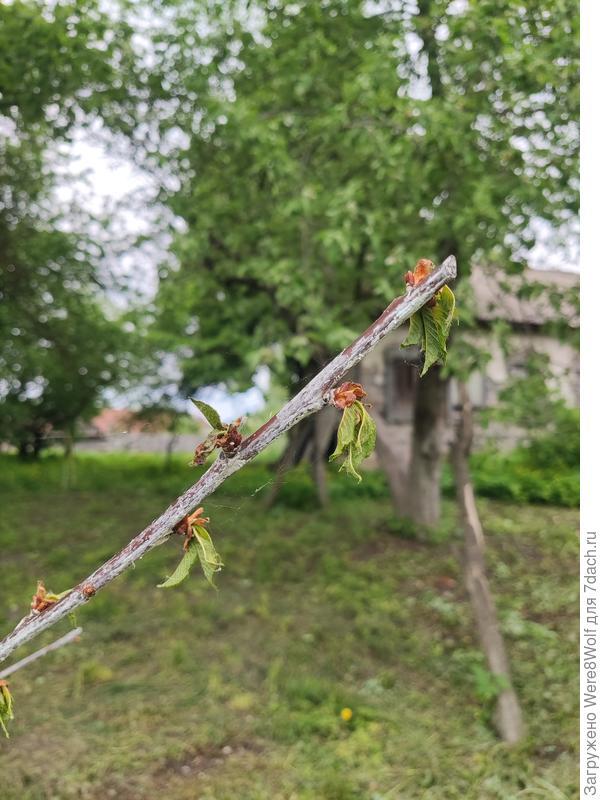 Черешня не распустила весной листья. Саженец помёрз?