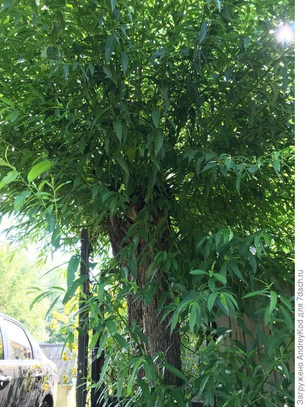 Из далека кажется что это куст, но нет, пушистое дерево. Возможно ли поддерживать их в форме куста если спилить все на пень, и садовой пилой постоянно ровнять? Оставить как живую изгородь