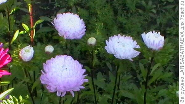 А это мои любимые цветы - - астры