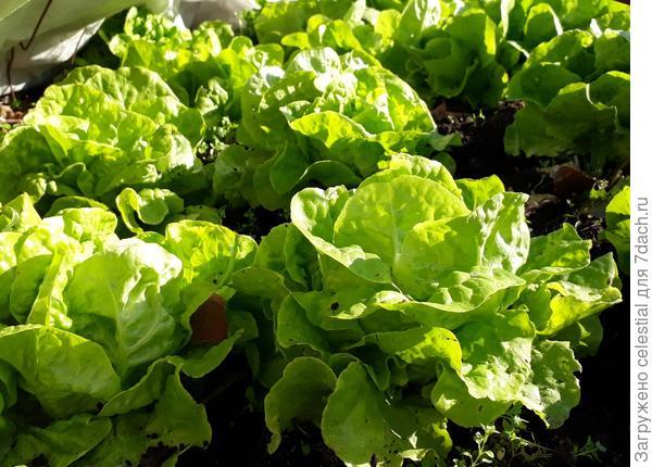 Сочный кочанный салат в начале октября