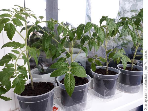 Рассада томатов готова к высадке в грунт