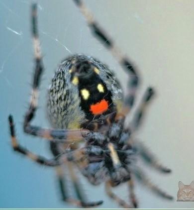 Как называется этот паук ?