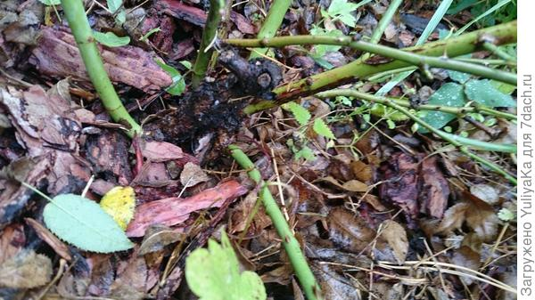 нижний (слева) побег самый мощный, с листьями и семью листочками