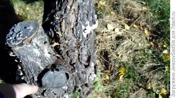 Результат обрезки - дерево постепенно засохло