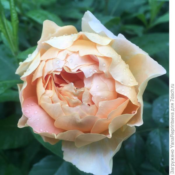Название сорта забыла. Роза плетистая, огромные цветы, выглядят всегда, как искусственные. Нежно-персикового цвета. Увезла куст на дачу.