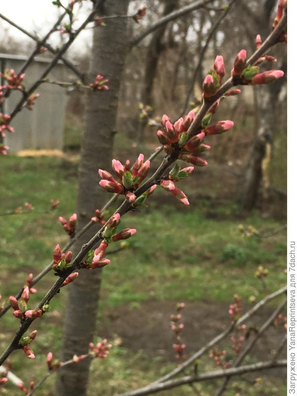 Цветочные бутоны, как символ жизни и весны! Войлочная вишня.