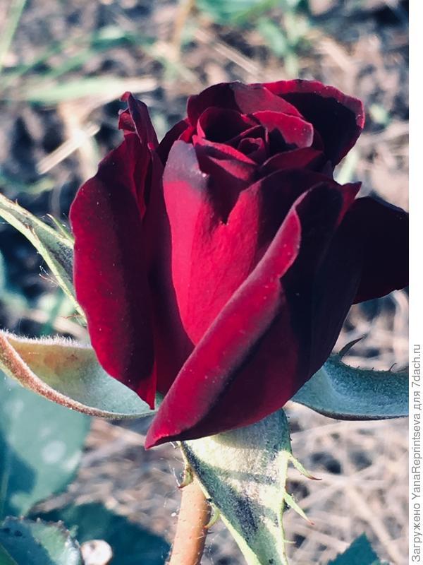 "Первый цветок ""Блэк Бакара"""