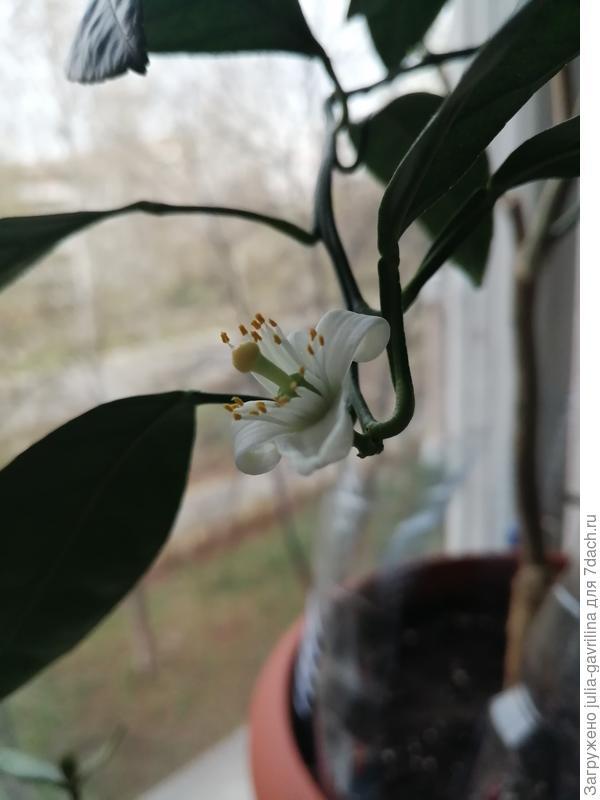 Цветок мандаринового дерева